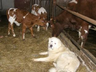 Anykščių rajone ūkininkė apsaugai naudoja Podhalės aviganius