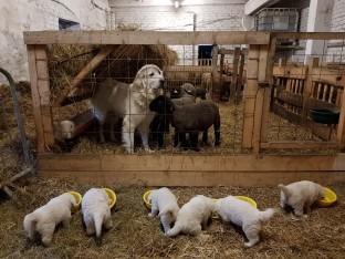 Į ūkius atkeliauja nauja Podhalės aviganių karta