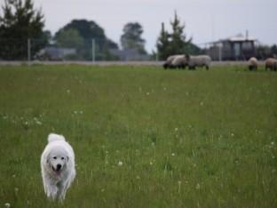 Kuršėnų ūkininkas avių apsaugą sustiprino šunimis